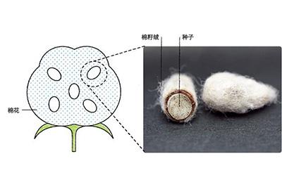 什么是棉籽绒